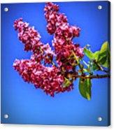 Beautiful Lilac Acrylic Print