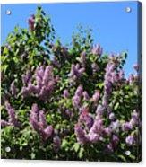 Beautiful Lilacs Day Acrylic Print