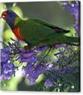 Beautiful Lorikeet Acrylic Print