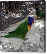 Beautiful Lorikeets Acrylic Print