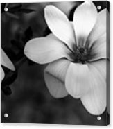 Beautiful Magnolia Acrylic Print