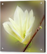 Beautiful Magnolia Original Painting 01 By H G Mielke Acrylic Print
