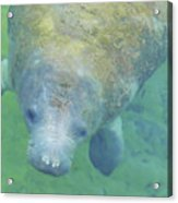 Beautiful Manatee Acrylic Print