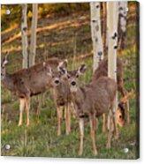 Beautiful Mule Deer Herd Acrylic Print