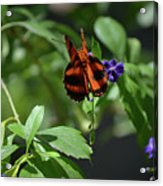 Beautiful Oak Tiger Butterfly On Purple Flowers Acrylic Print