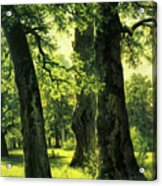 Beautiful Oak Trees Reach To The Skies Acrylic Print