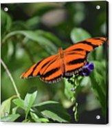 Beautiful Orange Oak Tiger Butterfly In Nature Acrylic Print
