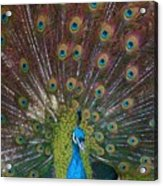 Beautiful Peacock Acrylic Print
