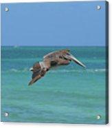 Beautiful Pelican Flying Over Aqua Waters In Aruba Acrylic Print