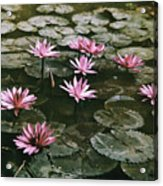 Beautiful Pink Lotus Water Lilies Bloom Acrylic Print by W. Robert Moore