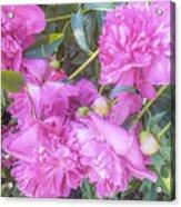 Beautiful Pink Peonies Acrylic Print