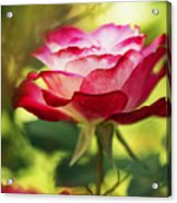 Beautiful Pink Rose Blooming In Garden Acrylic Print