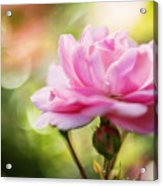 Beautiful Pink Rose Blooming In Garden With Natural Bokeh Acrylic Print