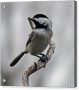 Beautiful Pose - Black-capped Chickadee Acrylic Print