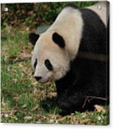Beautiful Profile Of A Giant Panda Bear Ambling Along Acrylic Print