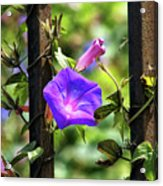 Beautiful Railroad Vine Flower II  Acrylic Print