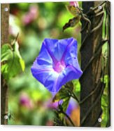 Beautiful Railroad Vine Flower Acrylic Print