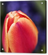 Beautiful Red And Orange Colored Tulip  Acrylic Print