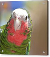 Beautiful Red Feathers On The Throat Of A Green Conure Bird Acrylic Print