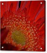 Beautiful Red Acrylic Print