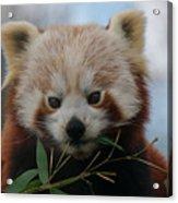 Beautiful Red Panda Acrylic Print