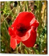 Beautiful Red Poppy Acrylic Print