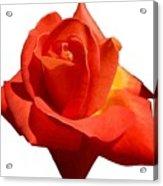 Beautiful Red Rose Photograph Vector Acrylic Print
