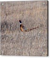 Beautiful Rooster Pheasant  Acrylic Print