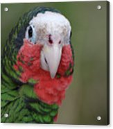 Beautiful Ruffled Green Feathers On A Conure Acrylic Print