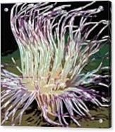 Beautiful Sea Anemone 1 Acrylic Print