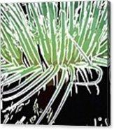 Beautiful Sea Anemone 3 Acrylic Print