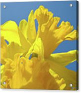Beautiful Spring Daffodil Bouquet Flowers Blue Sky Art Prints Baslee Troutman Acrylic Print