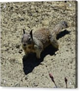 Beautiful Squirrel Standing In A Sandy Area In California Acrylic Print
