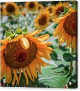 Beautiful Sunflower Field In South Carolina Acrylic Print