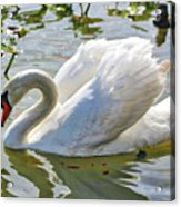 Beautiful Swan Acrylic Print