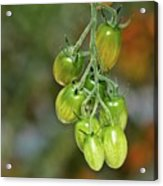 Beautiful Tomatoes Acrylic Print