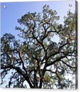 Beautiful Tree Blue Sky Sunshine Acrylic Print
