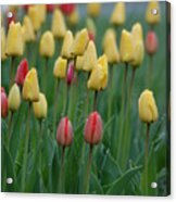 Beautiful Tulips Acrylic Print