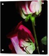 Beautiful Two Tone Roses 2 Acrylic Print