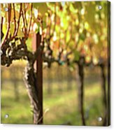 Beautiful Vineyard In Napa Valley Acrylic Print