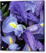 Beautiful Violet Colored Iris Flower With Rain Drops Acrylic Print