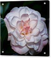 Beautiful White Camellia Acrylic Print