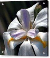 Beautiful White Day Lily Acrylic Print