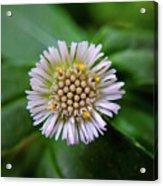Beautiful White Flower Acrylic Print