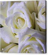 Beautiful White Roses Acrylic Print
