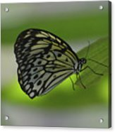 Beautiful White Tree Nymph Butterfly On  A Leaf Acrylic Print