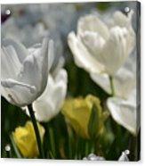 Beautiful White Tulips Acrylic Print