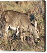 Beautiful Young Deer Acrylic Print