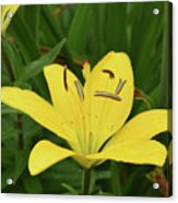 Beautiful Yellow Lily In A Garden During Spring Acrylic Print