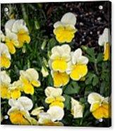 Beautiful Yellow Pansies Acrylic Print by Eva Thomas